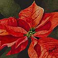Franci's Poinsettia by Sam Sidders
