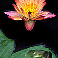 Frog And Waterlily by Dave Mills
