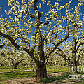 Fruit Orchard by John Shaw