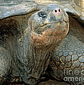 Galapagos Giant Tortoise by Millard H. Sharp