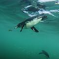 Galapagos Penguin (spheniscus Mendiculus by Pete Oxford