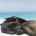 Galapagos Sea Lion Pup Covering Face by Tui De Roy