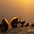 Gelada Baboons by Juan-Carlos Munoz