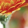 Gerbera Flower by Elena Elisseeva