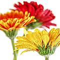Gerbera Flowers by Elena Elisseeva