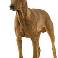 German Or Standard Pinscher by Jean-Michel Labat