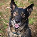 German Shepherd by Stacy Abbott