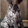 German Short-haired Pointer Dog by John Daniels