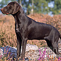 German Short-haired Pointer Puppy by John Daniels