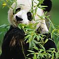 Giant Panda Ailuropoda Melanoleuca by Gerry Ellis