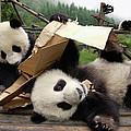 Giant Panda Ailuropoda Melanoleuca Pair by Katherine Feng