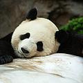 Giant Panda At Ocean Park by Huw Jones