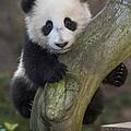 Giant Panda Cub In Tree by San Diego Zoo