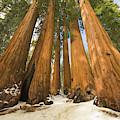 Giant Sequoias Sequoia N P by Yva Momatiuk John Eastcott