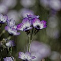 Gilia Tricolor by Don Bendickson