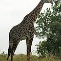 Giraffe by Olaf Christian