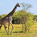 Giraffe On Savanna. Safari In Serengeti by Michal Bednarek