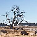 Give Me A Home Where The Buffalo Roam by James BO Insogna