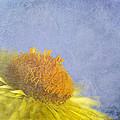 Golden Everlasting Daisy by Ben Bassey