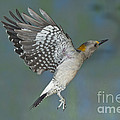 Golden-fronted Woodpecker by Anthony Mercieca