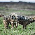 Golden Jackal Canis Aureus by Eyal Bartov