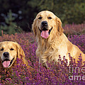 Golden Retriever Dogs In Heather by John Daniels