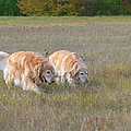 Golden Retriever Dogs On The Hunt by Jennie Marie Schell