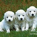 Golden Retriever Puppies by Jean-Michel Labat