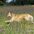 Golden Retriever Running by John Daniels
