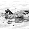 Goose In The Water by Alice Gipson