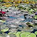 Gorgeous Water Lilies by Frank Gaertner