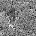 Grants Gazelle by Tony Murtagh