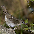 Gray-cheeked Thrush by Anthony Mercieca