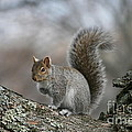 Gray Squirrel by Neal Eslinger