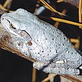 Gray Treefrog by Robert Floyd