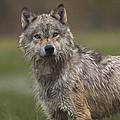 Gray Wolf  North America by Tim Fitzharris