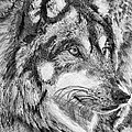 Gray Wolf Watches And Waits by J McCombie