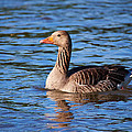 Graylag Goose by Jouko Lehto