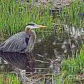 Great Blue Heron At Deboville Slough 2 by Sharon Talson