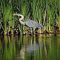 Great Blue Heron by Ernie Echols