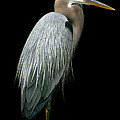 Great Blue Heron by Mariarosa Rockefeller