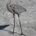 Great Blue Heron On The Beach by Christiane Schulze Art And Photography