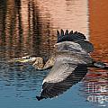 Great Blue Heron by Scott Moore