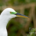 Great Egret by Anthony Mercieca