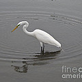 Great Egret Ardea Alba by Allan  Hughes