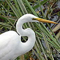 Great Egret Close Up by Al Powell Photography USA