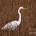 1- Great Egret by Joseph Keane