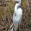 Great Egret by Michael Anthony