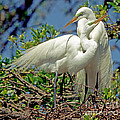Great Egret by Millard H Sharp