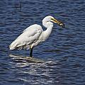 Great Egret by Ronald Lutz